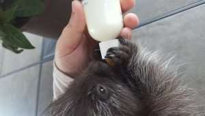 Porcupine feeding from a bottle