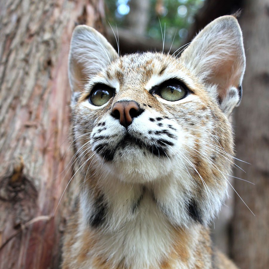 Aurora the Bobcat
