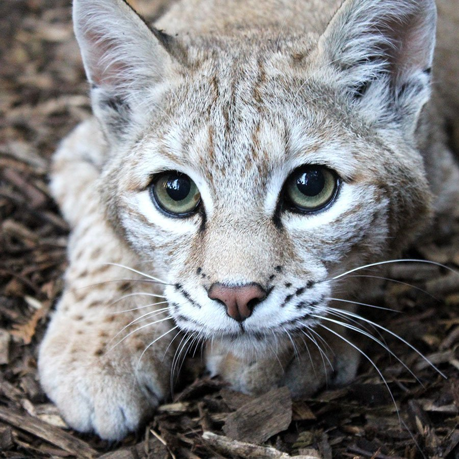 Avery the Bobcat