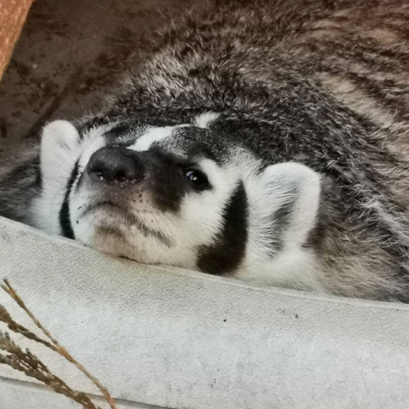 Khaleesi the Badger