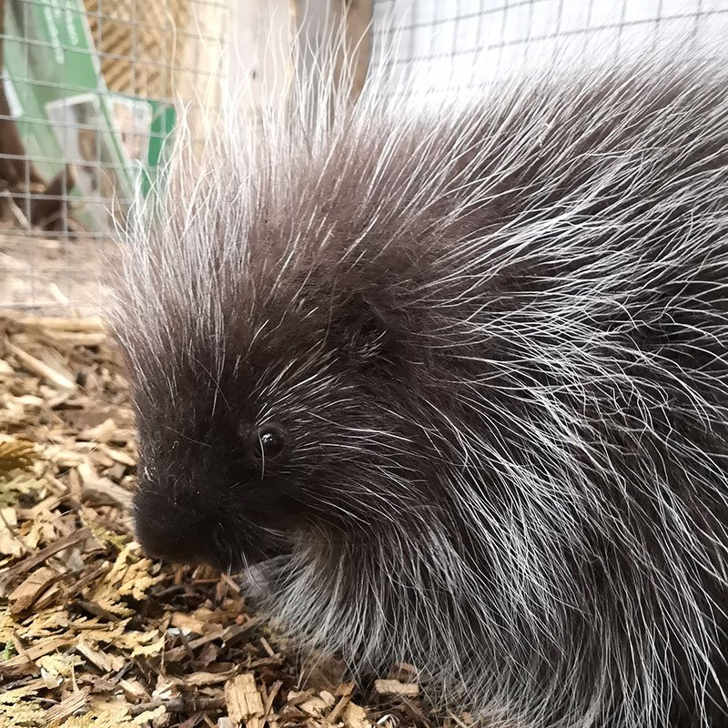 Chewy the Porcupine