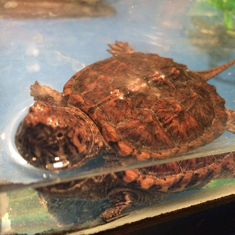 Speedy the Snapping Turtle