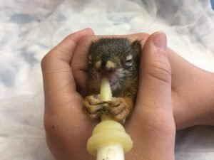 Baby Squirrel feeding