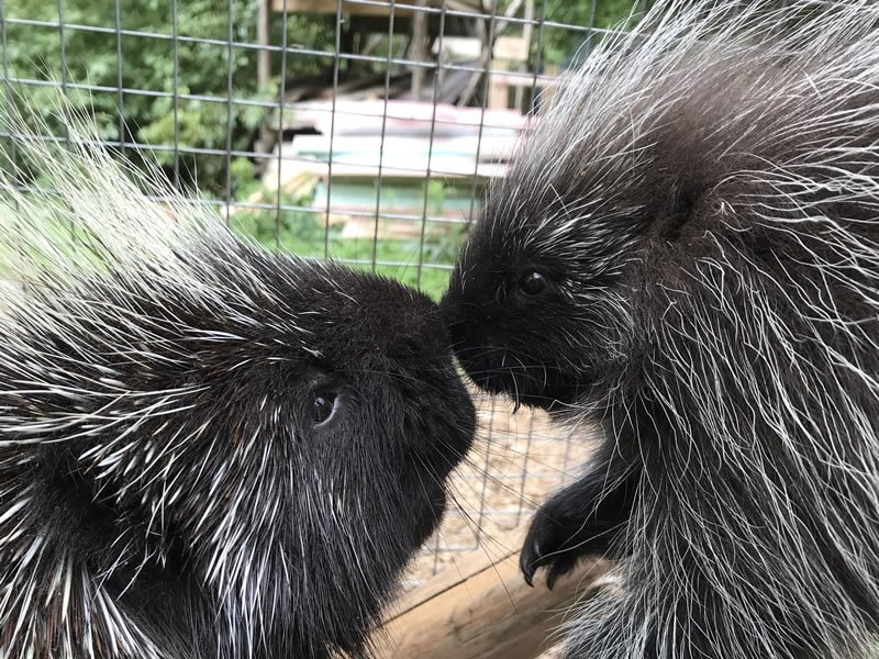 Vinny & Chewy the Porcupines